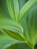 Detail of Corn Lilly