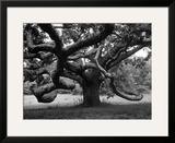 Giant Oak Tree on Martha's Vineyard