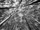 Black and White Aspen Tree Forest