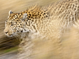 A Female Leopard Stalking Her Prey in Blurred Motion