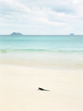 A Marine Iguana Strolls Along the White Sand Beach on Isla Santa Cruz in the Galapagos Islands
