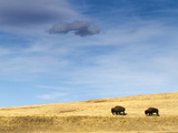 Bison Walking over Prarie Hills