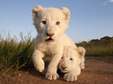 Portrait of Two White Lion Cub Siblings  One Laying Down and One with it's Paw Raised