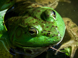 Close Up of Green Bull Frog