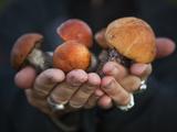 Boletus Mushrooms in Chokosna