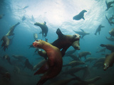 California Sea Lions  Swimming Underwater Off Anacapa Island