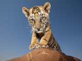 Portrait of a Bengal Tiger Cub Posing on a Rock Against a Blue Sky  South  Africa