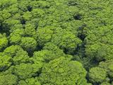 Aerial View of Invasive Albizia Trees (Falcataria Moluccana) on Kauai  Hawaii