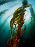Channel Islands National Park  California: the View Underwater Off Anacapa Island of a Kelp Forest