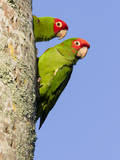 A Red-Masked Parakeet Peers from a Nest Cavity in South Florida