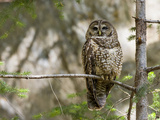 A Spotted Owl (Strix Occidentalis) in Los Angeles County  California
