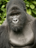A Silverback Mountain Gorilla at Virunga National Park in the Democratic Republic of the Congo