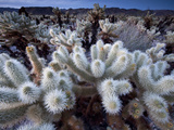 Teddy Bear Cactus or Jumping Cholla in Joshua Tree National Park  California