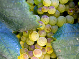 Grapes on California's Central Coast