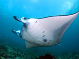 Giant Manta Feeding in the CurrentShot in Indonesia