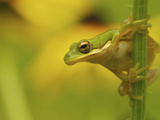 American Tree Frog in a Garden in Fuquay Varina  North Carolina