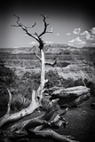 Arbre Mort Dans Le Parc National Du Grand Canyon En Arizona