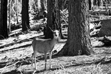 Wild deer - Yosemite National Park - Californie - United States