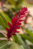 Ginger Flower  Carambola Botanical Gardens  Roatan  Honduras