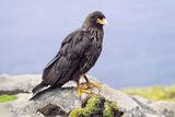 Birds  Striated Caracara or Johnny Rook  Falkland Islands