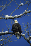 Bald Eagle  Chilkat River  Haines  Alaska  USA