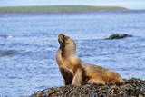 Southern Sea Lion or Patagonian Sea Lion  Female  Kelp  Falkland Islands