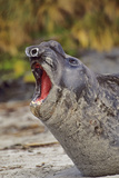 Southern Elephant Seal Bull in Molting Season  Falkland Islands