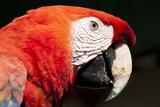 Scarlet Macaw  Tropical Bird  Chichicastenango  Guatemala