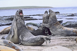 Southern Elephant Seal Bulls in Mock Fight in Molting Season  Falkland Islands