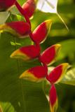 Heliconia Tropical Flowers  Roatan  Honduras