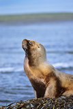 Southern Sea Lion or Patagonian Sea Lion  Female  Kelp  Falkland Islands