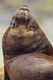 Southern Sea Lion or Patagonian Sea Lion  Young Bull  Falkland Islands