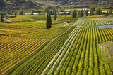 Felton Road Vineyard  Autumn  Bannockburn  Central Otago  South Island  New Zealand
