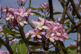 Pink Oleander Flora  Grand Cayman  Cayman Islands  British West Indies