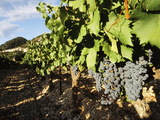 Grapes in Vineyard  Provence-Alpes-Cote d'Azur  Vaucluse  Seguret  France