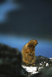 Arctic Ground Squirrel Wildlife  Kluane National Park and Reserve  Yukon  Canada
