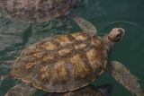 Turtle Farm  Green Sea Turtle  Grand Cayman  Cayman Islands  British West Indies
