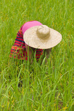Igorot Tribal Woman  Rice Paddy  Agriculture  Banaue  Ifugao Province  Philippines
