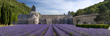 Rows of Lavender  Abbaye De Senanque Near Gordes  Luberon  Provence  France