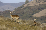 Mountain Nyala Antelopes in Bale Mountains National Park  Ethiopia  Africa