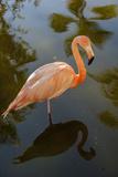 Pink Flamingo  Bavaro  Higuey  Punta Cana  Dominican Republic