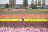Tulip Farm  Washington  USA
