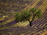 Lonely Tree in Lavender Field  Vaucluse  Haute Province  France