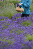 Woman Cutting Bunches  Lavender Festival  Sequim  Washington  USA