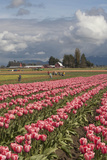 Tulips in Bloom  Annual Skagit Valley Tulip Festival  Mt Vernon  Washington  USA