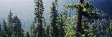 Old-Growth Forest Above Chinook Creek  Mt Rainier National Park  Washington  USA