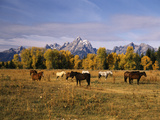 Horses on Moran Junction at Grand Teton National Park  Wyoming  USA