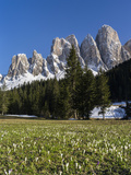 Geisler Mountains Valley Villnoess  Spring-Crocus  Dolomites  South Tyrol  Italy