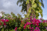 Bougainvillea Flora  Bavaro  Higuey  Punta Cana  Dominican Republic