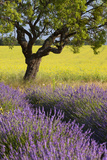 Lone Tree  Lavender and Mustard Fields Near Valensole  Provence  France